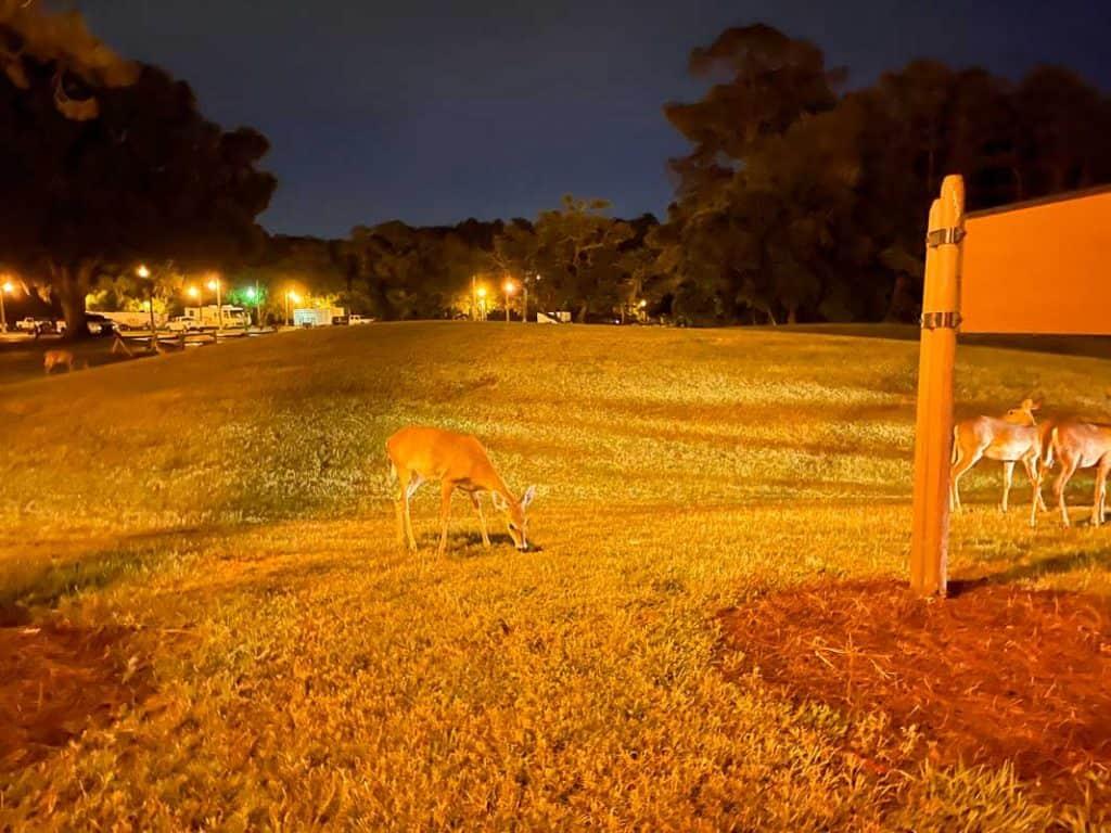 deer eating grass in a field
