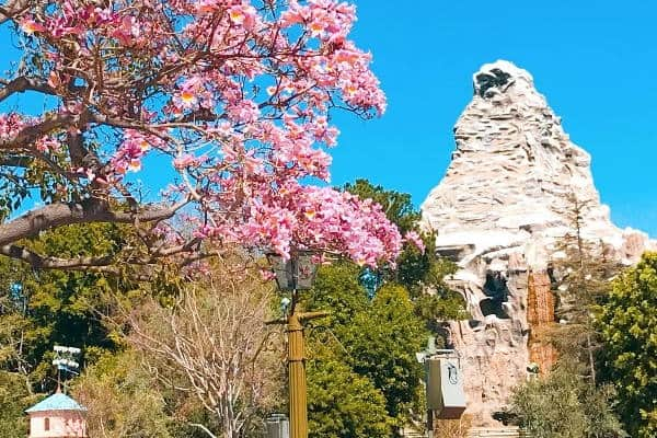 Disneyland Matterhorn mountain in the background with a pink flowering tree in the foreground
